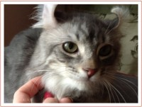 Котенок породы американский керл Emmett Push Avantiurun