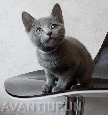 Котенок русской голубой кошка на продажу