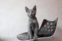 котенок русской голубой кот на продажу