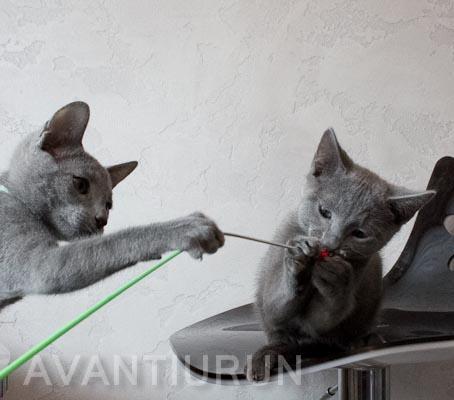 котята русской голубой на продажу
