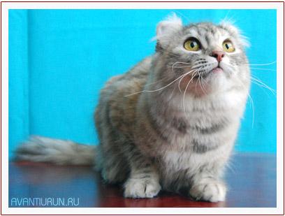 Nikoletta - кошка породы американский керл из питомника Avantiurun