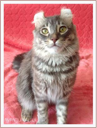Кот породы американский керл Dennis Avantiurun