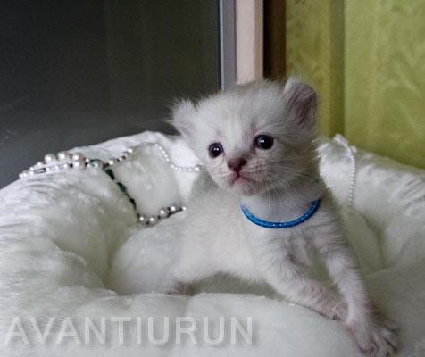 котенок американского керла кошка на продажу