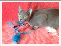 GLORIYA AVANTIURUN - русская голубая кошка из питомника Avantiurun