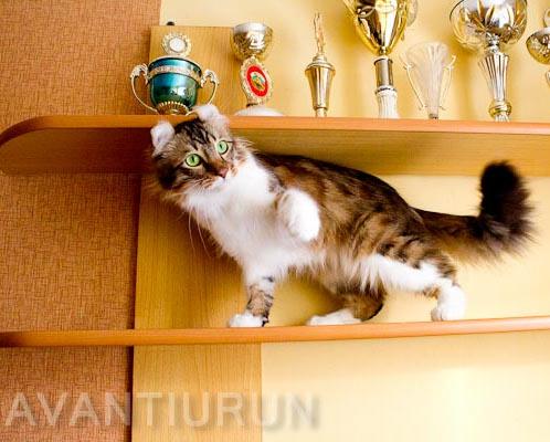 Кот породы американский керл питомник Avantiurun