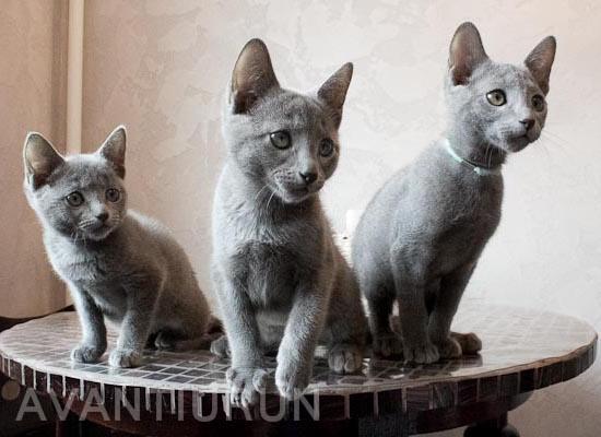 котята русские голубые на продажу