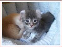 Котенок породы американский керл Dennis Avantiurun