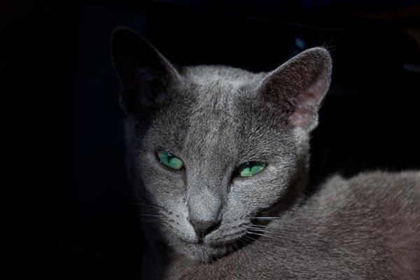 Русский голубой кот питомника Avantiurun Snezhana'Rus Alister Алик
