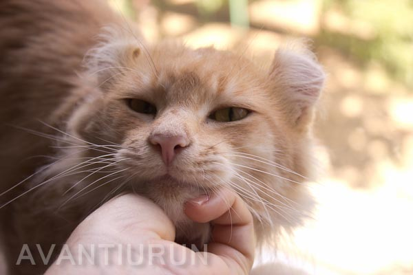 Кот американский керл Квентин из питомника Avatiurun