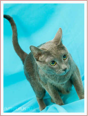 Жаклин Грин Грей - русская голубая кошка из питомника Avantiurun