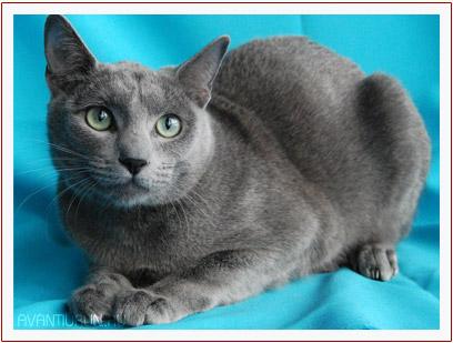 Кейси Маклай - русский голубой кот из питомника Avantiurun