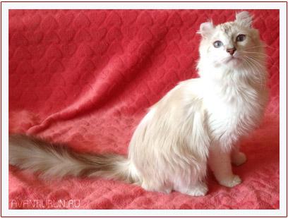 Кошка породы американский керл, питомник Avantiurun