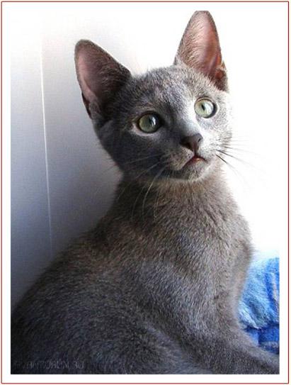 усская голубая кошка питомника Avantiurun