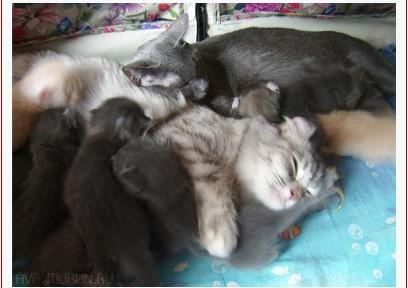 в питомнике Avantiurun родились котята. Запись на котят